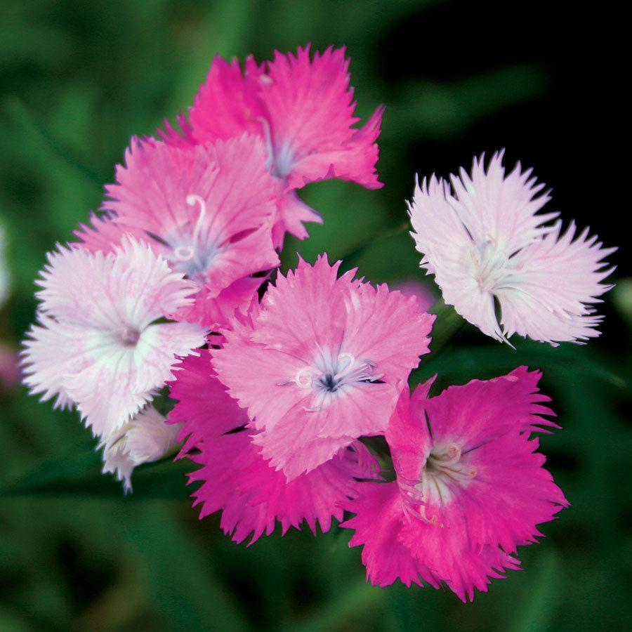 claveles-de-colores