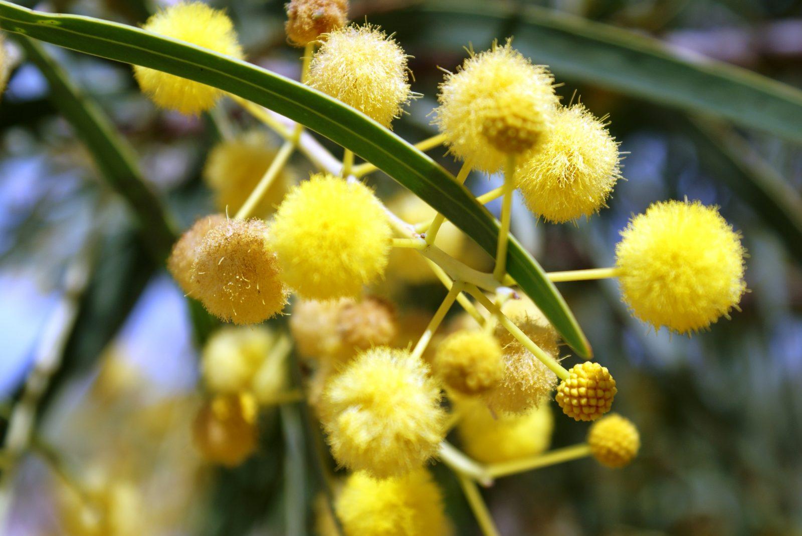 flores-de-acacias