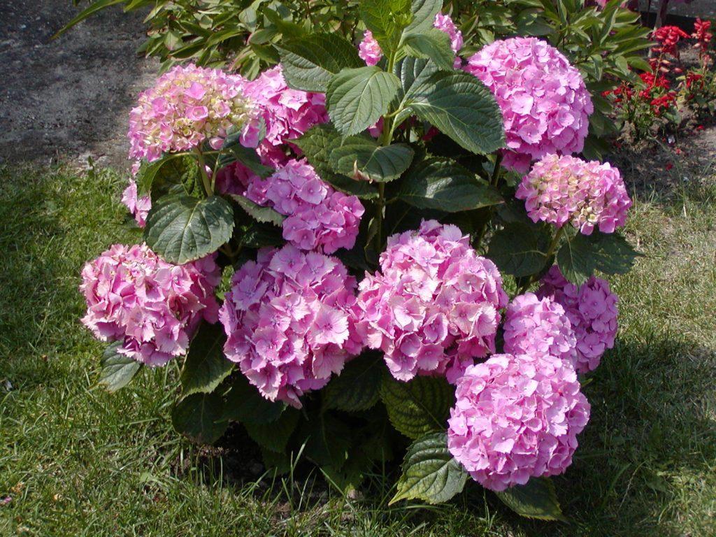 hortensias-en-el-jardin