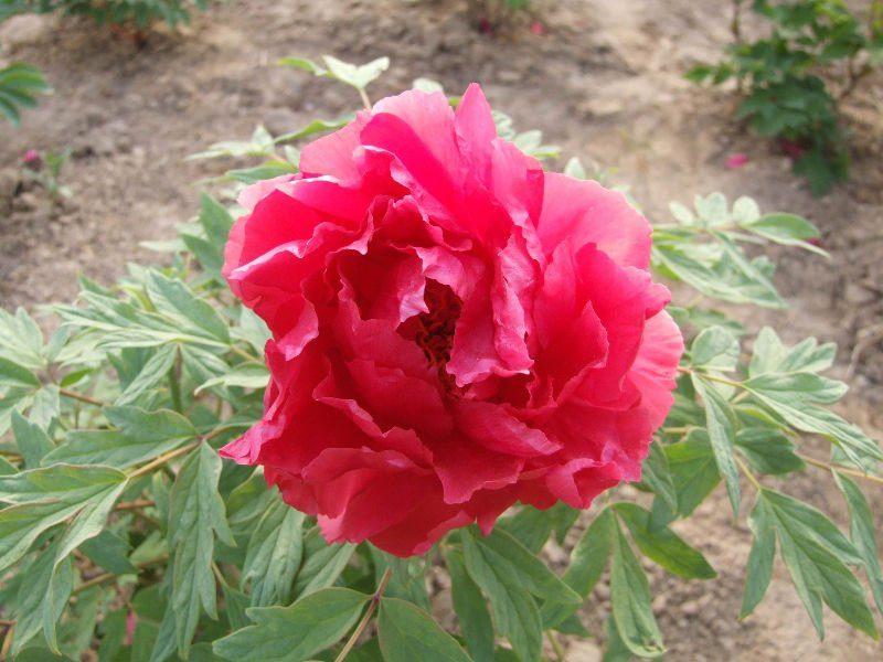 peonia-rosa