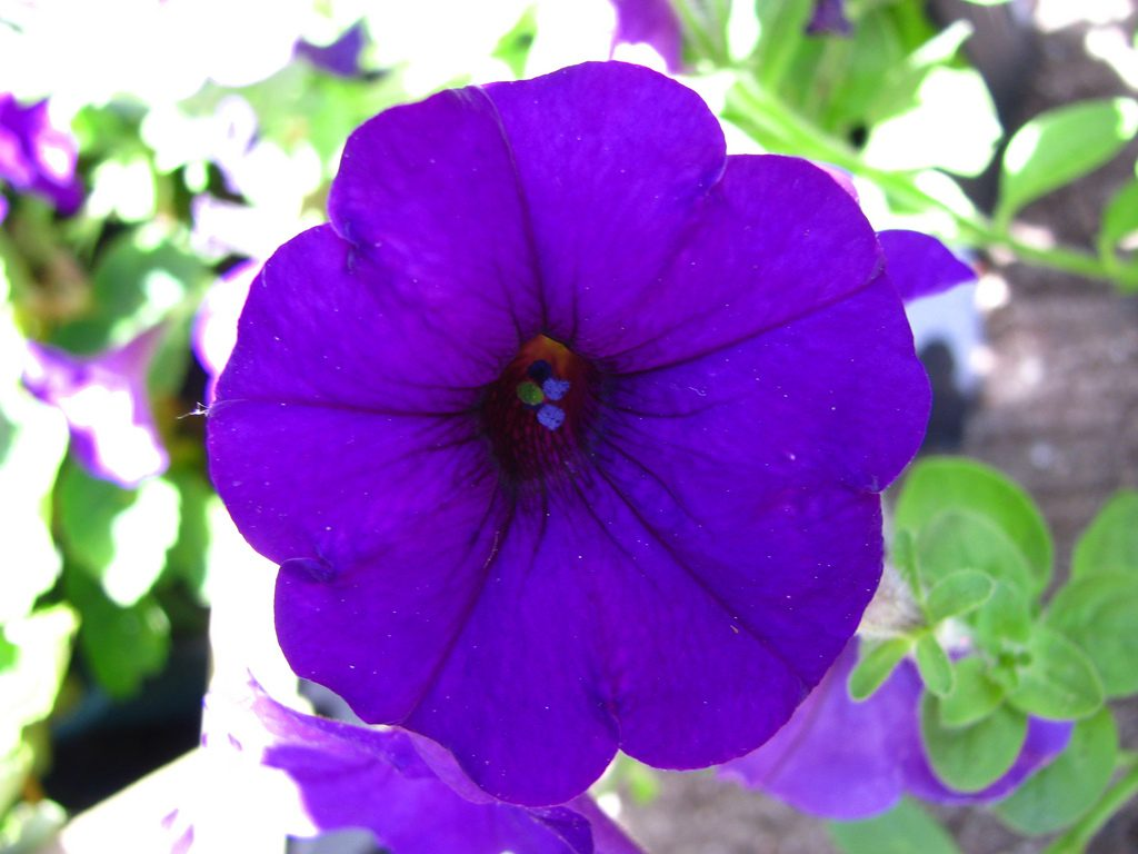 petunias-purpuras