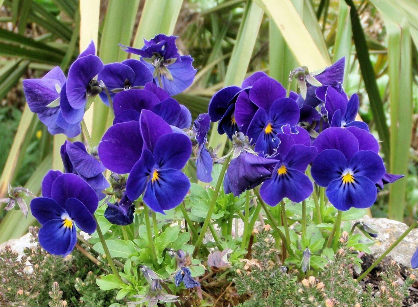 violetas (1)